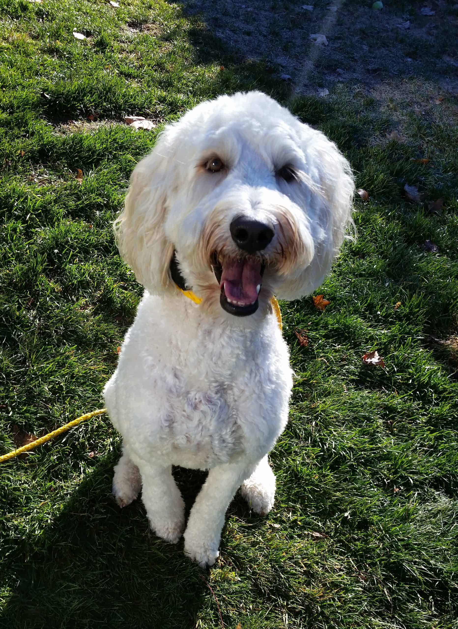 Buddy the Goldendoodle