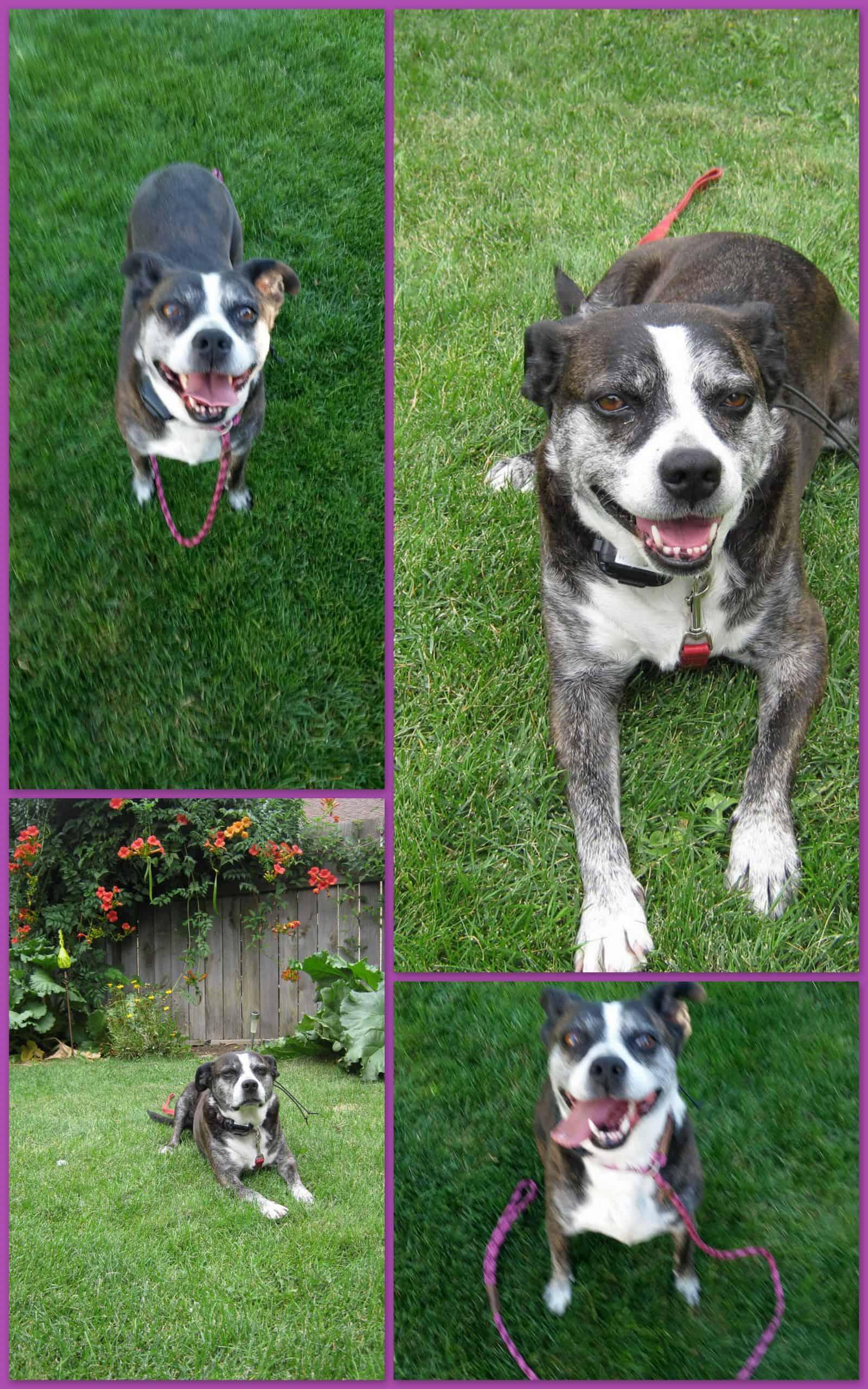 Maggie the Boston Terrier Mix