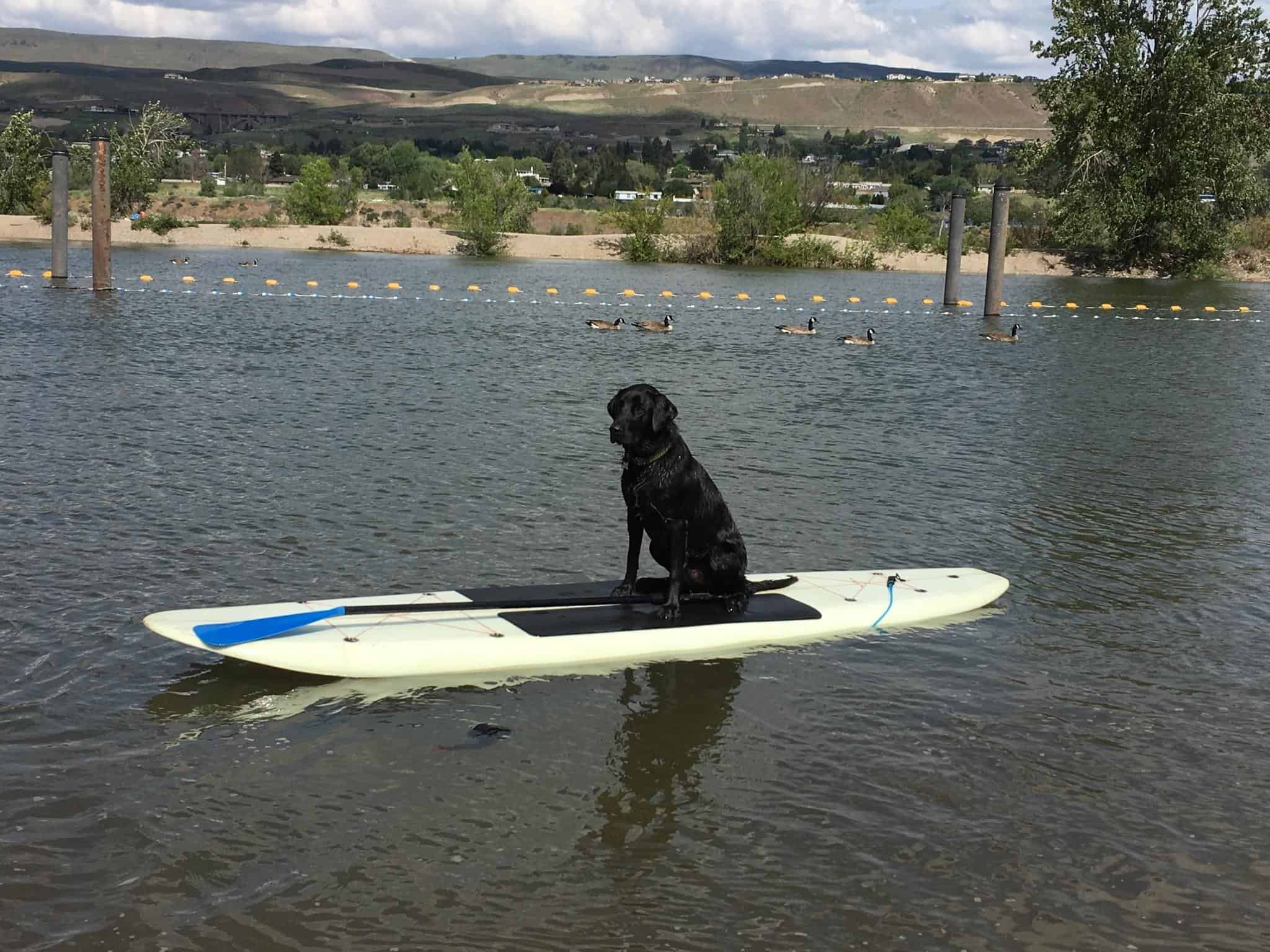 Porter the Lab on Paddle Board