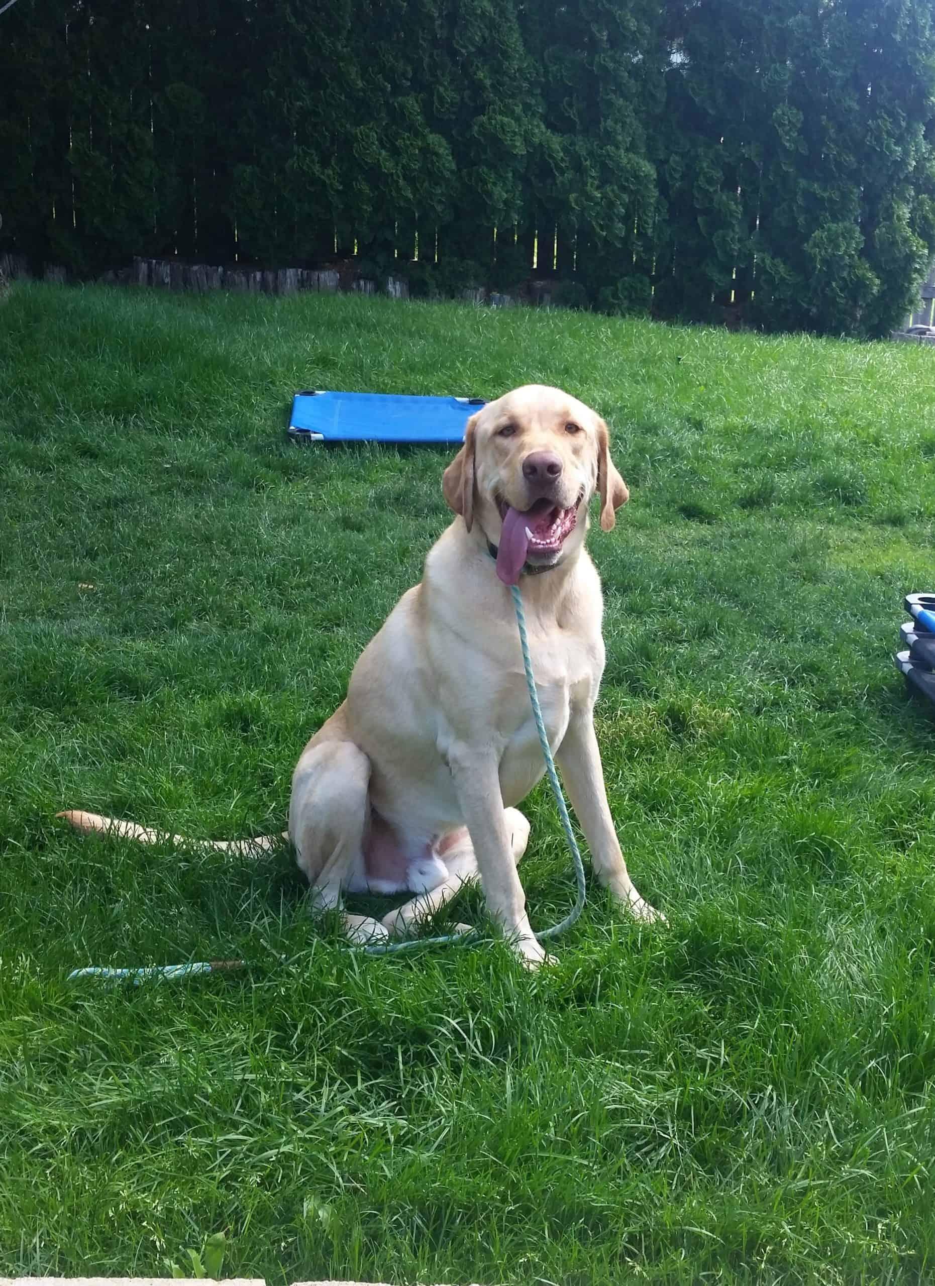 Yellow Labrador Gus